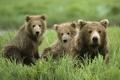 Картинка трава, природа, обои, медведи, семя, wallpaper, медвежонок