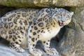 Картинка кошка, камень, ирбис, снежный барс, взляд, ©Tambako The Jaguar