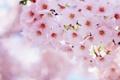 Картинка цветы, вишня, розовый, ветка, лепестки, размытость