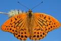 Картинка макро, бабочка, крылья, насекомое, мотылек