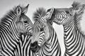 Картинка фон, рисунок, зебры