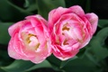 Картинка капли, макро, тюльпаны, дуэт, бутоны