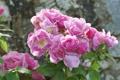 Картинка розы, лепестки, розовый куст