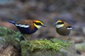 Картинка птицы, Banded pitta, Hydrornis (guajana), Питты