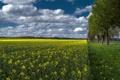 Картинка поле, небо, трава, облака, деревья, цветы, рапс