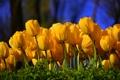 Картинка зелень, цветы, тюльпаны
