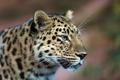 Картинка взгляд, леопард, профиль, leopard, дальневосточный