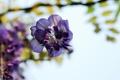 Картинка цветы, сиреневые, глициния