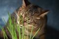Картинка зелень, трава, кот, еда