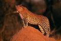 Картинка горка, леопард, стоит, смотрит
