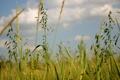 Картинка зелень, поле, лето, трава, природа, колоски