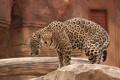 Картинка кошка, камень, ягуар, профиль, бревно