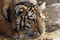 Картинка кошка, макро, тигр