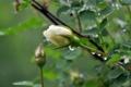 Картинка листья, капли, Роза, бутон, шиповник