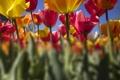 Картинка цветы, желтые, тюльпаны, розовые, плантация