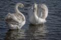 Картинка озеро, the lake, Swan pair, лебединая пара