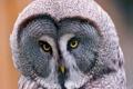 Картинка сова, Lapland Owl, бородатая неясыть, Great Grey Owl