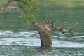 Картинка вода, река, ветка, олень, рога