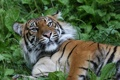 Картинка кошка, трава, взгляд, морда, тигр