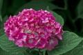 Картинка цветок, листья, розовая гортензия