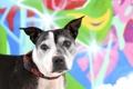 Картинка фон, собака, Staffordshire Terrier