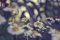 Картинка цветное, Ромашки, лето