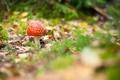 Картинка листья, мох, осень, трава, Гриб, мухомор, макро