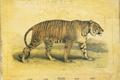 Картинка тигр, ретро, винтаж, страна