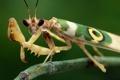 Картинка взгляд, богомол, насекомое