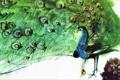 Картинка Птицы, Мирко Ханак, акварель, хвост, павлин, фауна, живопись