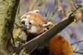 Картинка красная панда, ©Tambako The Jaguar, firefox, малая панда, дерево