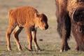Картинка бизон, buffalo, телёнок