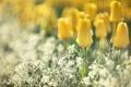 Картинка цветы, блики, размытость, тюльпаны, жёлтые