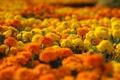 Картинка клумба, желтые, оранжевые, marigolds, макро, цветы