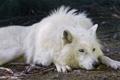 Картинка белый, взгляд, отдых, волк, полярный, ©Tambako The Jaguar