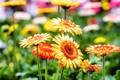 Картинка цветение, оранжевые, герберы, цветы, яркие