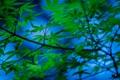 Картинка листья, ветки, дерево, японский клен