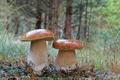 Картинка лес, грибы, боровики