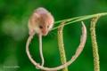 Картинка мышка, хвост, грызун, стебелек, мышь-малютка