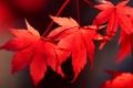 Картинка осень, листья, клен, багрянец