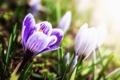 Картинка весна, сиреневые, трава, солнце, крокусы, полоски, цветы