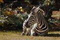Картинка трава, природа, зебра, лежит