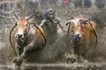 Картинка cow race, Indonesia, sport