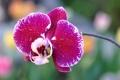 Картинка капли, цветок, орхидея, роса, лепестки, вода