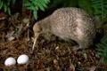 Картинка птица, яйца, киви, гнездо, kiwi, длинный клюв