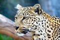 Картинка взгляд, крупный план, хищник, леопард