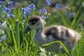 Картинка птенец, утёнок, утка, цветы