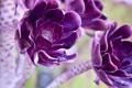 Картинка макро, цветы, фиолетовые