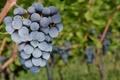 Картинка виноград, гроздь, виноградник