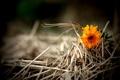 Картинка трава, оранжевый, сухая, цветочек